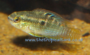 Dwarf Flag Cichlid (Laetacara curviceps) with photo / picture