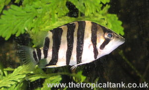 "22"" Siamese Tiger Fish datnoid - YouTube"
