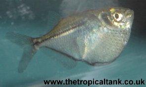 Common hatchetfish, Black lined hatchetfish (Gasteropelecus sternicla ...