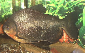 Red bellied parnas yahoo answers for Pacu fish for sale