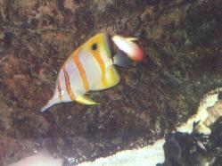 Copper-banded/Firefish