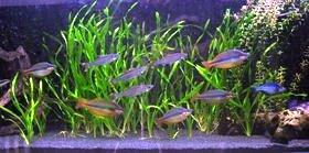 rainbowfish keeping rainbows in the aquarium