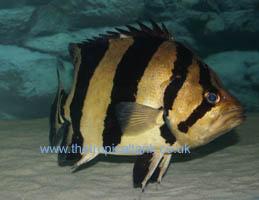 Asiamese Tigerfish : Siamese Tigerfish Aquarium Tank