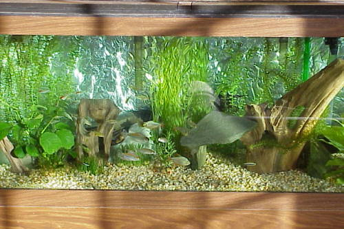 How to mimic the natural environnement of the tetras and for Natural fish tank